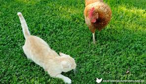 Keep Cats In Backyard Keeping Cats And Chickens Together