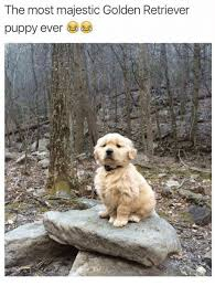Golden Retriever Meme - the most majestic golden retriever puppy ever meme on me me