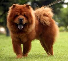 lion dogs lion dog breed breed dogs picture