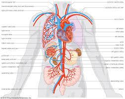 cardiovascular system arteries and veins circulatory system