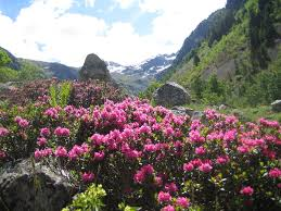 native plants in china rhododendron wikipedia