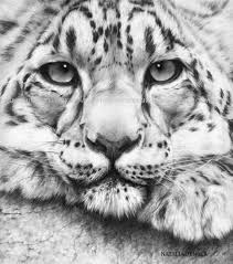 drawn white tiger charcoal drawing pencil and in color drawn