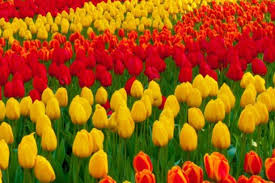 tulips flowers all you need to before planting tulip flowers in your garden
