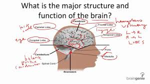 brain structure and function articles physiological reviews
