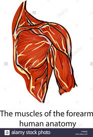 Structure Of Human Anatomy Muscles Muscle Fibers Anatomy Of The Human Hand A Structure Of