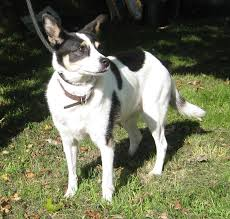 bichon frise x jack russell leah u2013 9 year old female collie cross jack russell terrier dog for