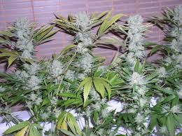 northern lights yield indoor northern lights by white label seedfinder strain info