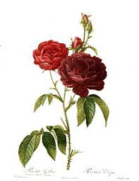 Picture Of Roses Flowers - rose wikipedia