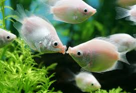 fish valentines happy s day repeating islands