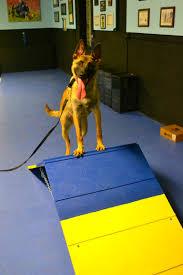 belgian sheepdog michigan trick dog michigan dog training