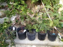 native plants san diego my california natives the bonsai dilettante