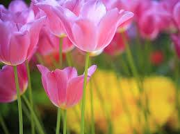 wallpaper bunga tulip wallpapers host2post
