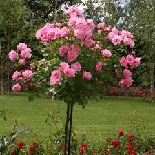 fleurs vivaces rustiques protéger ses plantes ses rosiers du froid roses guillot