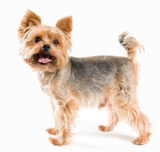 yorkie hair cut chart generous wire haired terrier yorkie mix gallery electrical