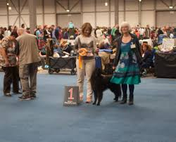 belgian sheepdog oklahoma ch blackforest u0027s amaryllis u2013 lilly u2013 blackforest belgian sheepdogs
