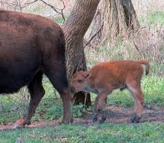 Iowa wildlife images Move over sparky this new and very cute bison calf born in