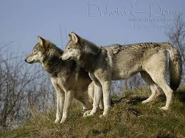 wolf pictures two wolves dakota and duma standing side on