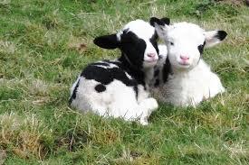 jacobs sheep lambs u2013 dominus mihi adjutor