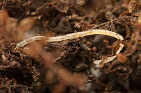 what are pot worms what to do for white worms in compost