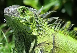 imágenes de iguanas verdes frío congela iguanas verdes en florida