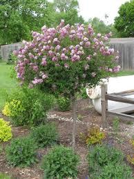 green value nursery trees ornamental trees syringa patula