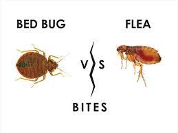 Flea Bites Vs Bed Bug Bites Pictures How Long Do Flea Bites Last On Humans Or Animals Manvspest