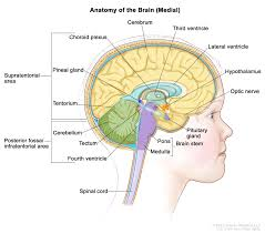 Gross Anatomy Of The Brain And Cranial Nerves Pdf Childhood Astrocytomas Treatment Pdq U2014health Professional