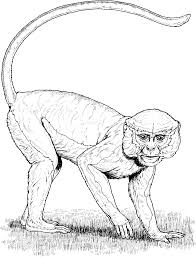 saki monkey coloring page drawings of macaque coloring pages y