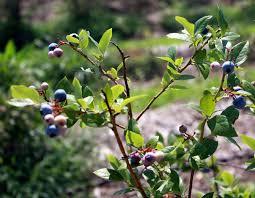 Tropical Plant Diseases - garden design garden design with farm report blueberries the