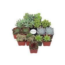 Altman Bathroom Faucets by Altman Plants 3 5 In Assorted Cactus And Succulent Plants 3 Pack
