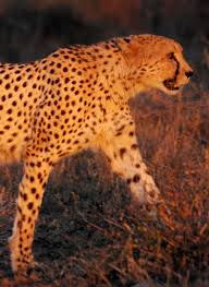 paris cheetah