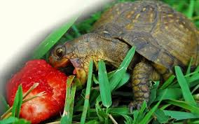 is your box turtle a health hazard box turtle world