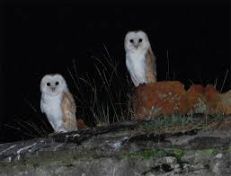 Barn Owl Sounds Duhallow Raptor Conservation Project What Does An Owl Sound Like