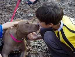 american pitbull terrier 1 a how to raise a pitbull tips from one owner to another