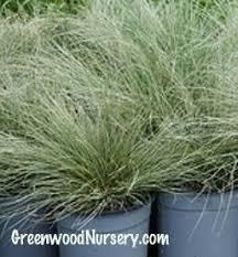 437 best ornamental grasses images on ornamental