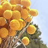 billy balls dried craspedia billy balls flowers 16 22in