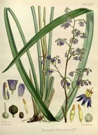 native plants nursery perth dianella tasmanica circa 1860 liliaceae lily family