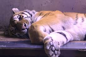 Anchorage Zoo Lights by Endangered Amur Tigers At The Alaska Zoo Youtube