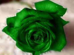 green roses green with water drops hi5love viral content