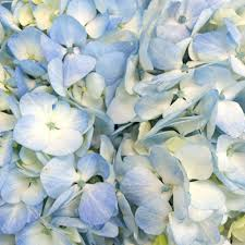 wholesale hydrangeas airbrushed sunkissed hydrangea flower flowers collection