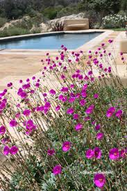 arizona native plant society 74 best 1 andrea middle planters very drought tolerant images on