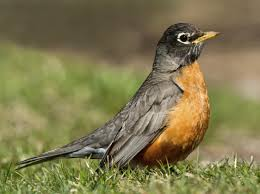 delightfully amazing facts about the american robin