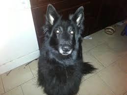 belgian sheepdog litters o litter page u2013 verseau belgian sheepdogs