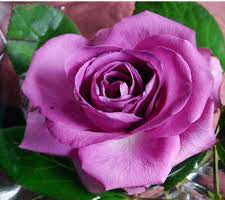 lavender roses the meaning of the color of roses sensational color