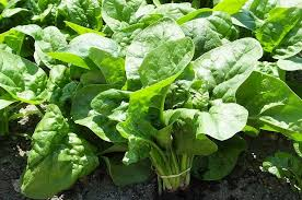 how to grow spinach complete fall vegetable growing guide