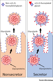 infection u0027s sweet tooth how glycans mediate infection and disease
