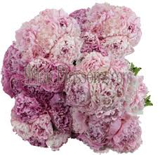 peonies flowers peonies wedding flowers buy wholesale peonies in bulk pink