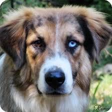 6 month australian shepherd romeo adopted puppy kyle tx great pyrenees australian