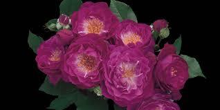 purple roses for sale weeks roses purple lavender roses