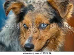 australian shepherd orange beautiful blue eyed tri color merle australian shepherd shepard